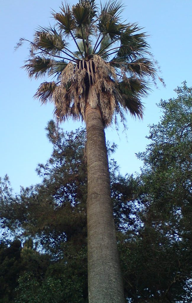 corfu-tree